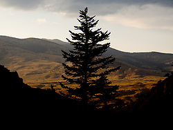 A lone pine tree silhouetted against a sunny, bright, landscape. Yellowstone National Park, USA