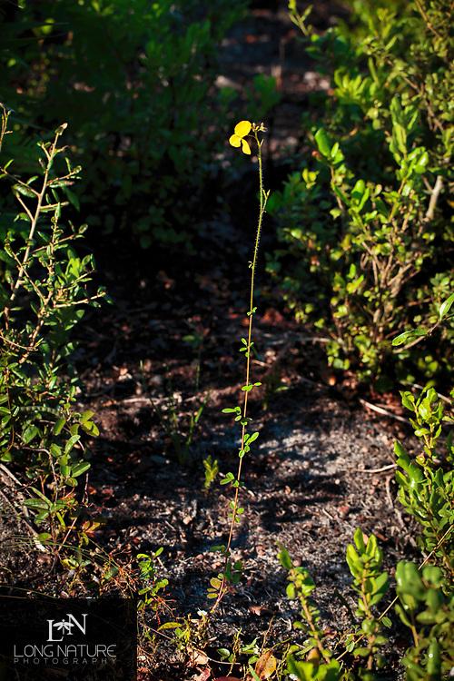 Florida Alicia (Chapmannia floridana), Photographed at Archbold Biological Station, Florida USA.