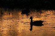 Mallard hen in sunrise reflection.