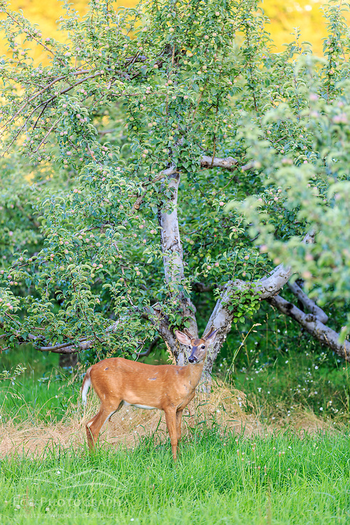 A white-tailed deer buck, Odocoileus virginianus, stands in the apple orchard at the Sullivan Farm in Nashua, New Hampshire.