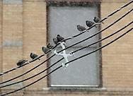Middletown, New York - European starlings (sturnus vulgaris) perch on wires during a snowstorm on Dec. 26, 2010.