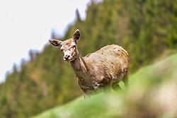 THEMENBILD - eine Hirschkuh im Wildpark Ferleiten, aufgenommen am 29. April 2018 in Taxenbacher-Fusch, Österreich // A female Roe Deer at the Wildlife Park, Taxenbacher-Fusch, Austria on 2018/04/29. EXPA Pictures © 2018, PhotoCredit: EXPA/ JFK