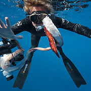 Photographer Douglas Seifert demonstrating the stickiness of the suction rings of an Architeuthis giant squid feeding arm. The squid's suction rings are lined with sharp, serrated teeth made of chitin, which help the animals to grasp and cling to prey. In this photograph, the suction rings are clinging to the glass of Douglas's scuba diving mask. I retrieved this 351-centimeter long Architeuthis arm fragment after seeing a sperm whale breach. Photographed in Ogasawara, Japan.