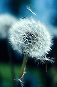Alaska. Dandelion (Taraxacum officiale) releases its seed.