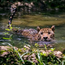 Onça-pintada (Panthera onca) fotografado em Goiás - Centro-Oeste do Brasil. Bioma Cerrado. Registro feito em 2015.<br /> ⠀<br /> ⠀<br /> <br /> <br /> <br /> <br /> ENGLISH: Jaguar photographed in Goias - Midwest of Brazil. Cerrado Biome. Picture made in 2015.