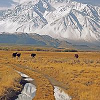 Cattle graze in pastures below Mount Tom in Sierra Nevada.
