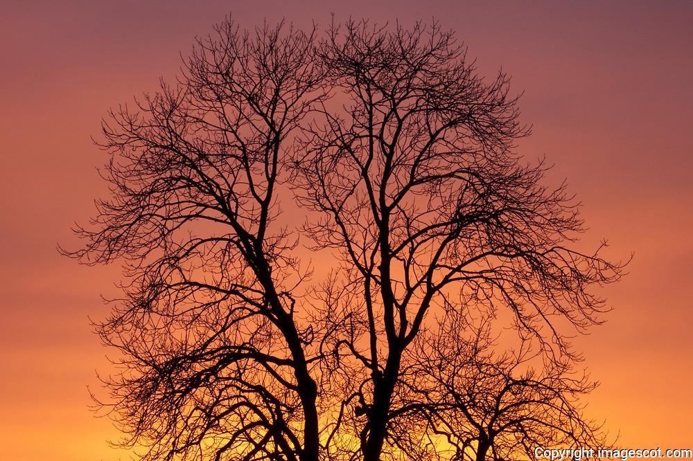 Ash tree, silhouette, sunset