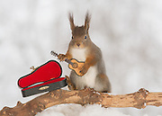 "EXCLUSIVE<br /> Photographer Pictures Squirrels With Tiny Musical Instruments Through Kitchen Window<br /> <br /> Some years ago, squirrels started to come to photographer Geert Weggen's  garden, He decided to build an outside studio from a balcony and started to shoot photos his kitchen window, Some days upto 6 squirrels visit Geert daily.<br /> <br /> This year Geert worked on an idea for a children's book, ""Squirrel Teaching You The Alphabet"", and was confronted with some letters like an object starting with an ""X"". That became a squirrel photo with a xylophone. From there Geert started doing a series of squirrel photos with music instruments. ""It took months to get some music instruments with the right size. I try to bring some magic, wonder and happiness with my work"", these are real photos. Sometimes I take away a wire or some food.<br /> <br /> Photo Shows: GUITARIST....red squirrel in snow with guitar<br /> ©Geert Weggen/Exclusivepix Media"
