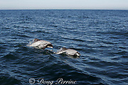 Hector's dolphin, Cephalorhynchus hectori, porpoising, Endangered Species, endemic to New Zealand, Akaroa, Banks Peninsula, South Island, New Zealand ( South Pacific Ocean )
