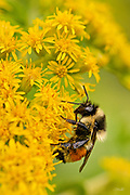 A worker bumblebee (genus Bombus) gathers nectar from a flowering Goldenrod (Solidago) plant.  Goldenrod belongs to a genus of about 100 species in the aster family which are mostly native to North America. The length of a worker bumblebee 0.75 to 1.5 in (19 to 38 mm).  Bumblebees, like their relatives the honeybees, feed on nectar using a long proboscis which is seen here protruding from the bee's mouth.  Numerous small round yellow grains of pollen are adherent all over this bee's body, demonstrating why bumblebees are important agricultural pollinators.  Over 250 species of bumblebee are known, primarily living at higher altitudes or latitudes in the Northern Hemisphere, although they are also found in South America.<br /> <br /> The image is a focus stack of 2 handheld exposures.
