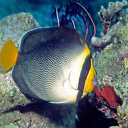 Vermiculated Angelfish are solitary or pairs in coral rich areas of inshore reefs. Picture taken Raja Ampat, Indonesia