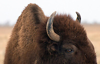An American bison wanders along Antelope Flats road recently in Grand Teton National Park. Bison and other wildlife are spending their days munching on grass and other foliage to fatten up for the impending winter.