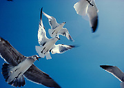 Laughing Gulls, Larus atricilla, in winter plumage flying, Coast of Florida.