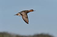 Wigeon - Mareca penelope - female