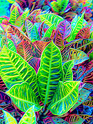 Croton leaves in Hawaii