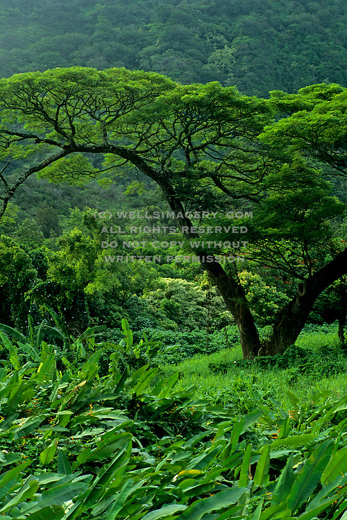 Image of tropical trees and foliage near Pali Highway, Oahu, Hawaii, America West by Andrea Wells