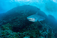 An aggressive Tiger Shark makes a very close pass.<br /> <br /> Shot at Cocos Island, Costa Rica