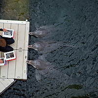 """A balcony view of """"Dolphin Quest"""" trainer and three dolphins at the Kahala Hotel & Resort in Honolulu, Hawaii."""