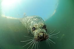 Common Seal, Phoca vitulina vitulina, Rostock, Warnemuende, Germany, Baltic Sea