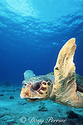 loggerhead sea turtle, Caretta caretta, Sugar Wreck, Little Bahama Bank, Bahamas ( Western Atlantic )