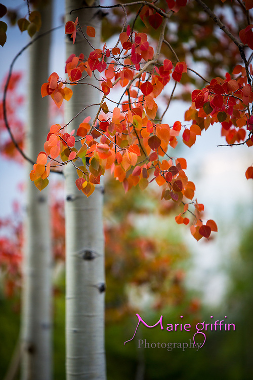 """Camping with """"the neighbors"""" Morris and Strock families at Stateforest State Park Colorado on Sept. 8-10, 2017. Aspens are changing colors.<br /> Photography by: Marie Griffin Dennis/Marie Griffin Photography<br /> mariegriffinphotography.com<br /> mariefgriffin{@}gmail.com"""