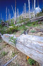 Standing Dead Trees, Fallen Log and Mushroom, Mt. St. Helens National Volcanic Monument, Washington, US