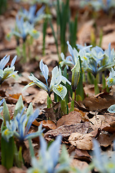 Iris 'Katharine Hodgkin' (Reticulata) growing amongst leaves in the Winter Garden at Dunham Massey