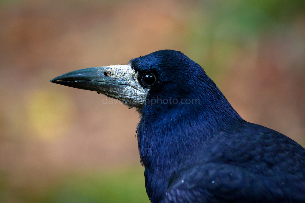 Very tame rook poses for a photograph near Torc Waterfall, Killarney, Ireland. Copyright 2011 Dave Walsh davewalshphoto.com
