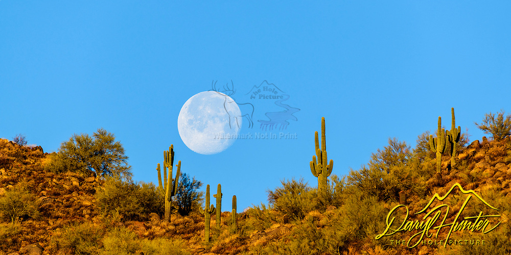 Full moon setting over the Saguaro Cactus in Arizona's Sonoran Desert.