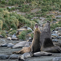 Two elephant seal bulls spar next to juveniles in a breeding colony at Gold Harbour on South Georgia Island.