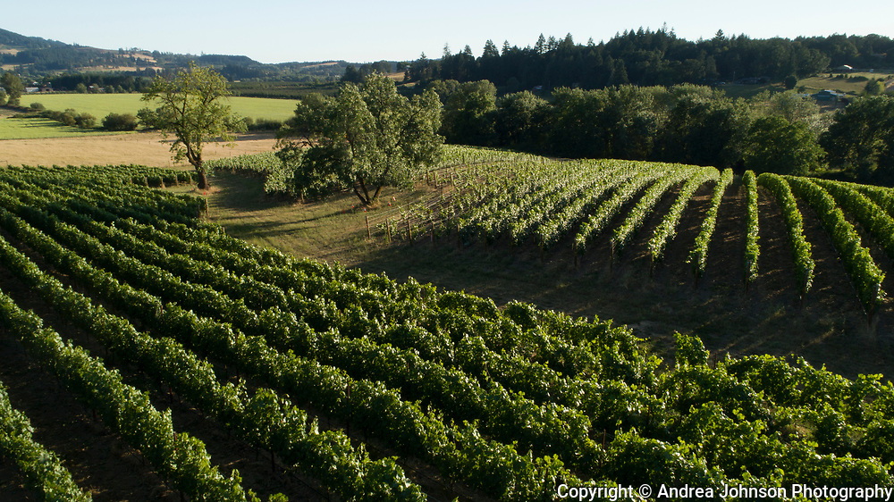 Aerial view over Arlyn Vineyard, Chehalem Mountains AVA, Willamette Valley, Oregon