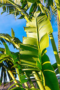 Banana frond, Bora Bora