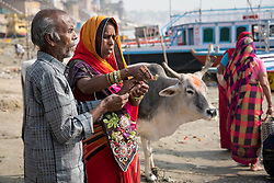 May 18, 2019 - Varanasi, India - On 18 May 2018, an Indian couple light incense and pray next to cow on the banks of the Ganges River, which is considered to be holy and pure in the Hindu religion. Photo taken in the city of Varanasi, India. (Credit Image: © Diego Cupolo/NurPhoto via ZUMA Press)