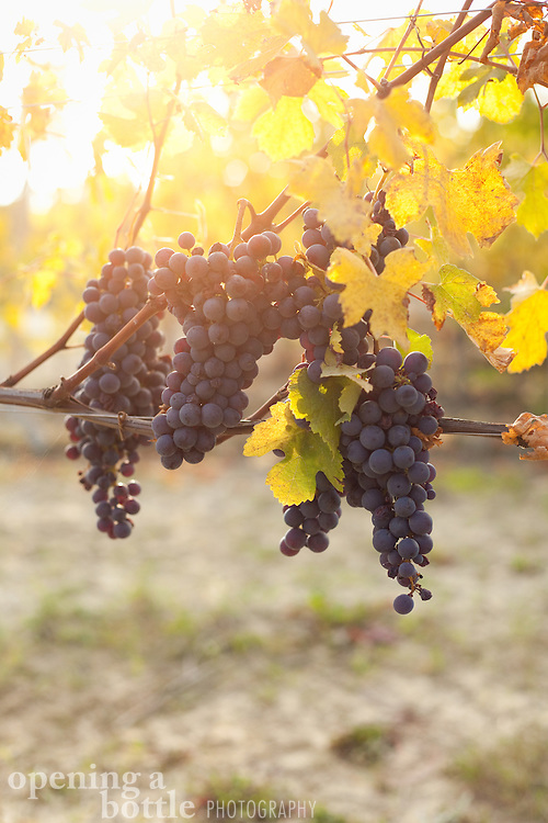 A group of nebbiolo grapes — the grape variety used to make Barolo and Barbaresco wine — hang from a vine during harvest season, near La Morra (Piedmont), Italy.