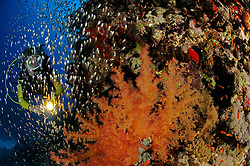 coral reef with soft corals, Dendronephthya hemprichi, and glassfishes and scuba diver, El Quseir, Egypt, Red Sea, MR
