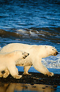 Alaska. Polar bears, sow with cubs (Ursus maritimus).
