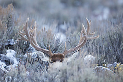 Huge Mule Deer relaxing in the Sage. See the story of the huge buck.<br /> <br /> A trophy buck ~ through the years.<br /> http://daryl-hunter.net/a-trophy-buck-through-the-years