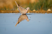 Ring-necked dove (Streptopelia capicola) reflected in a water pool in the desert, negev, Israel in June