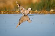 Ring-necked dove (Streptopelia capicola) reflected in a water pool in the desert, negev, Israel in June