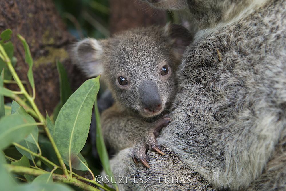 Koala <br /> Phascolarctos cinereus<br /> Seven-month-old joey <br /> Queensland, Australia<br /> *Captive