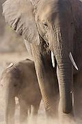 Adult and young African Elephant, Amboseli National Park, Kenya