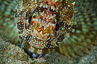 Marbled Rockfis, Sebastiscus marmoratus, along the shore of Sai Kung East Country Park. <br /> Mission Wild Sea Hong Kong / National Geographic Explorer grant