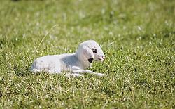THEMENBILD - ein kleines Lamm liegt in einer Wiese, aufgenommen am 08. Oktober 2020, Kaprun, Österreich // a small lamb lies in a meadow on 2020/10/08, Kaprun, Austria. EXPA Pictures © 2020, PhotoCredit: EXPA/ Stefanie Oberhauser
