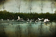 Swans taking off from river