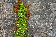 Bunchberry (Cornus canadensis) flowers  and rock<br /> Rose Blanche<br />Newfoundland & Labrador<br />Canada