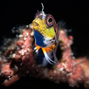 Normally pale in color, this male Laiphognathus multimaculatus Spotty Blenny is displaying the bright colors and patterns used to court females during breeding season. Adopting this characteristic yellow, blue and orange pattern, males perform a dance in front of their burrows. Interested females enter the burrow to deposit eggs.