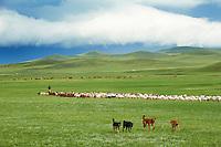 Mongolie, Province du Khentii, rassemblement des troupeaux// Mongolia, Khentii province, Rallying of drove.