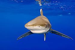 oceanic whitetip shark, Carcharhinus longimanus, Kona Coast, Big Island, Hawaii, USA, Pacific Ocean