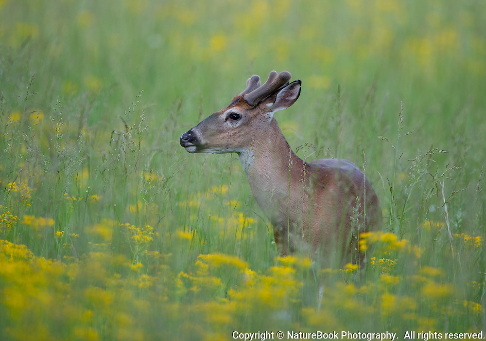A whitetail buck is sprouting new antlers while walking through the beautiful late spring flowers in a meadow at Cade's Cove in Great Smoky Mountains National Park.
