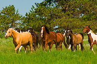 Wild mustangs, Black Hills Wild Horse Sanctuary, near Hot Springs, Black Hills, South Dakota USA